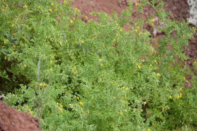 Tomatoes from the Galapagos Islands grow on volcanic rock and can thrive in salty conditions.