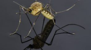mosquito standing on a pool of water reflecting a gray sky